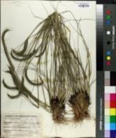 Image of Ctenium concinnum