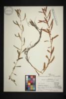 Image of Proserpinaca platycarpa