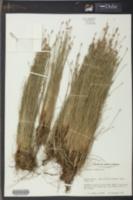 Eleocharis albida image