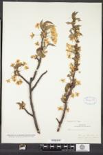 Prunus avium image