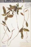 Image of Potamogeton wrightii