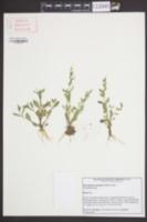 Mecardonia acuminata image