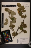 Image of Viburnum carlesii