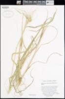 Heteropogon melanocarpus image