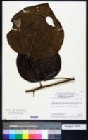 Image of Abuta rufescens