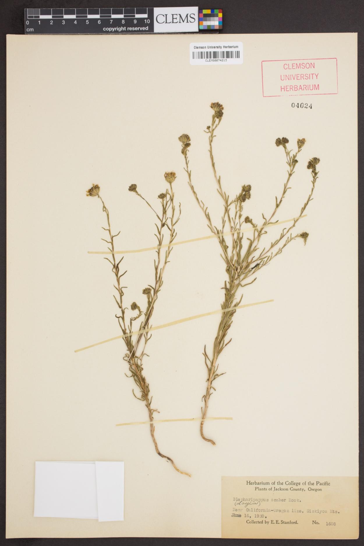 Blepharipappus scaber image
