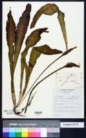 Ottelia ulvifolia image