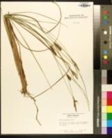 Carex walteriana image