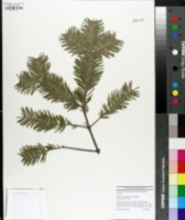 Image of Abies nephrolepis