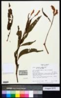 Image of Polygonum segetum