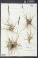 Sporobolus domingensis image