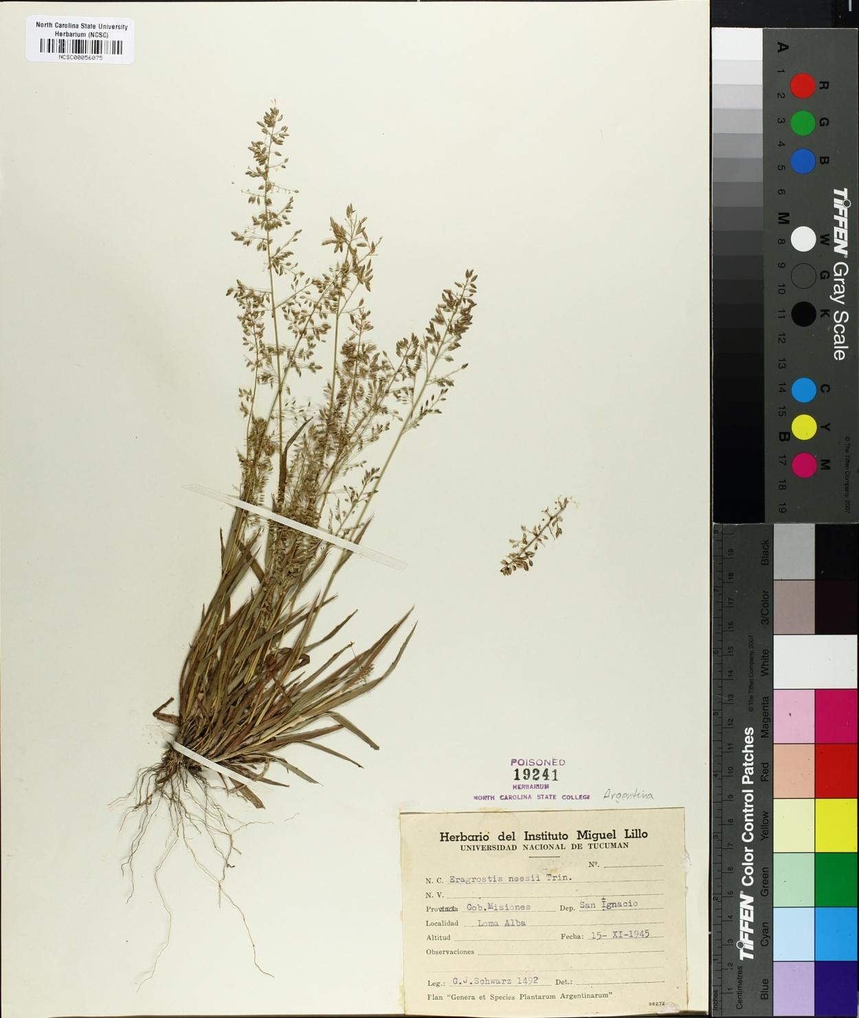Eragrostis neesii image