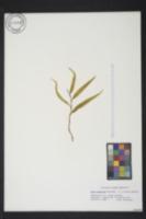 Salix matsudana image