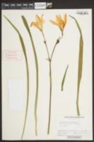 Image of Hemerocallis dumortieri