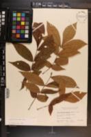 Carya myristiciformis image