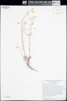 Chylismia munzii image