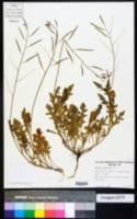 Diplotaxis tenuifolia image