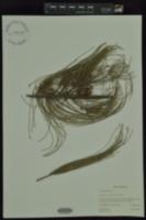 Casuarina glauca image
