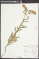Asclepias tuberosa image