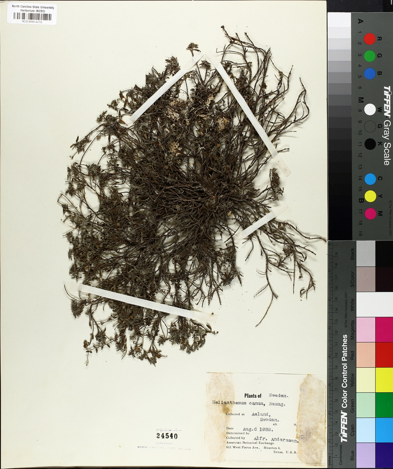 Helianthemum canum image