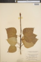 Populus candicans image