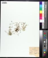Image of Sabulina fontinalis