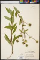 Silphium simpsonii image