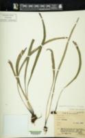 Haplopteris guineensis image