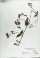 Mikania scandens image