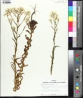 Image of Pseudognaphalium californicum