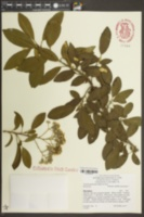 Image of Photinia glomerata