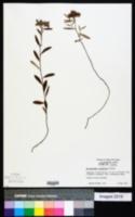 Helianthemum corymbosum image
