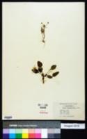 Viola praemorsa image
