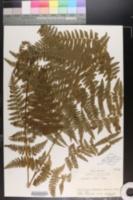 Image of Polypodium punctatum