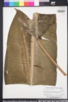 Image of Heliconia orthotricha