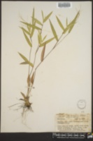 Panicum commutatum var. ashei image