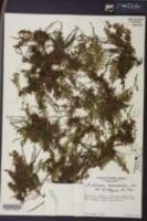 Image of Trichomanes botryoides