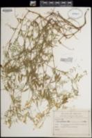 Vicia pulchella image
