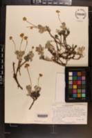 Eriogonum rosense var. beatleyae image