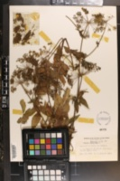 Cicuta maculata var. maculata image