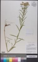 Euthamia graminifolia var. graminifolia image