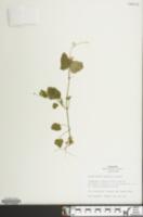Image of Scutellaria saxatilis