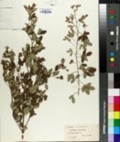 Image of Lespedeza robusta