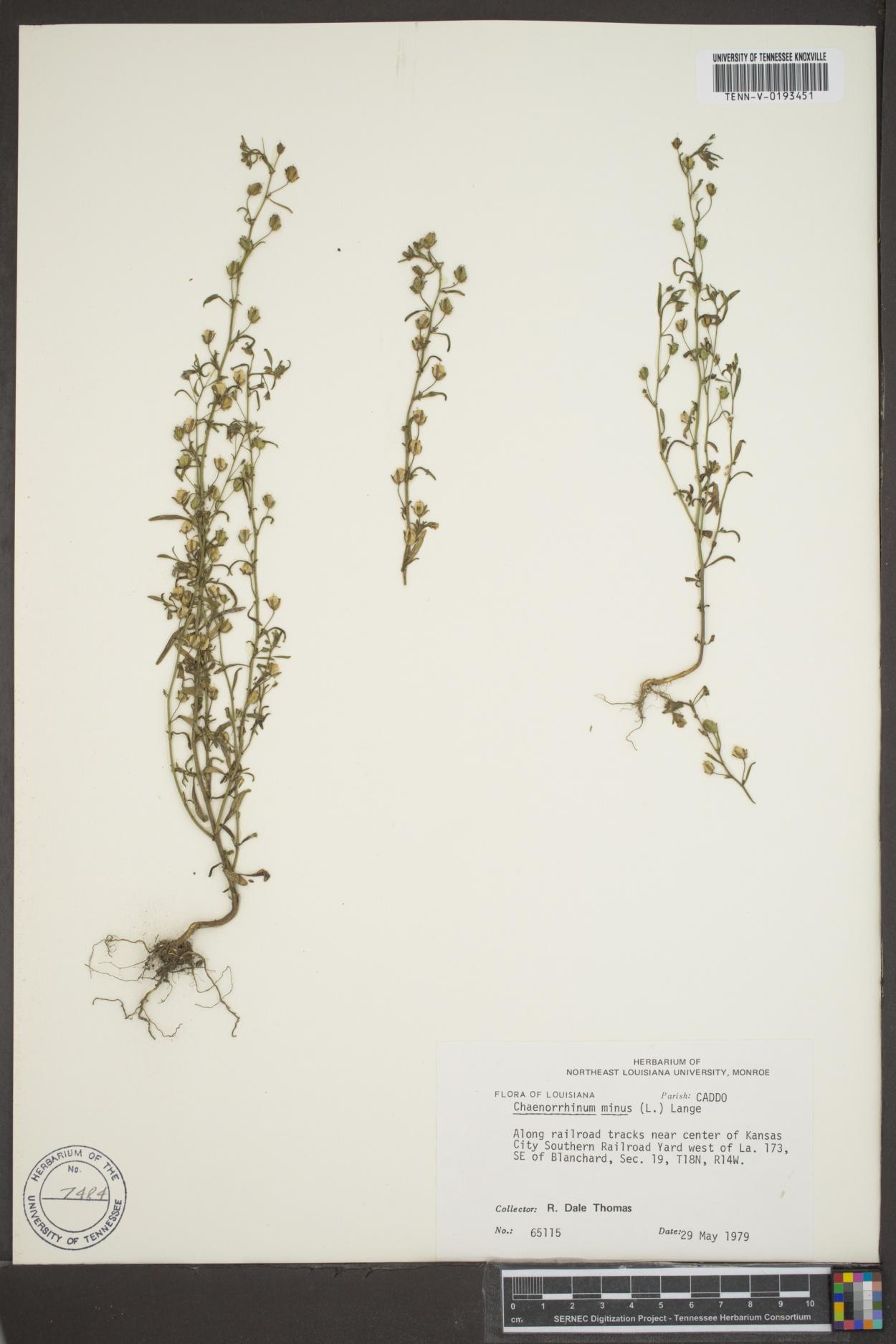 Chaenorhinum image