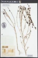 Image of Misopates orontium
