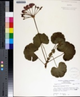 Image of Pelargonium hortorum