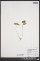 Anemonella thalictroides image
