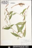Persicaria longiseta image