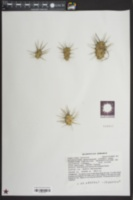 Opuntia pusilla image