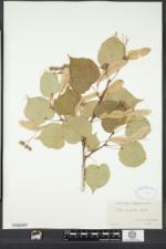 Tilia cordata image